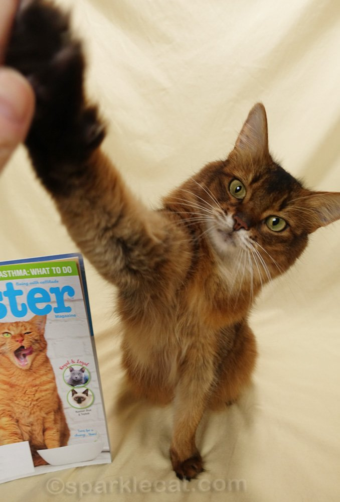 Somali cat giving High Five with Catster magazine in background