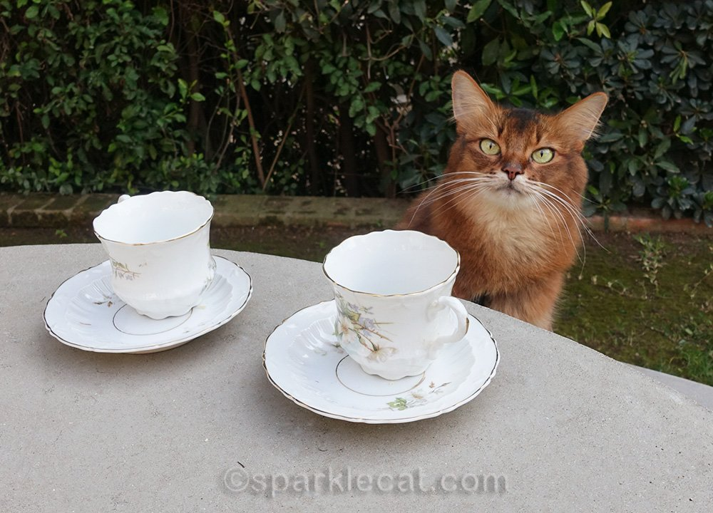 somali cat throwing a tea party