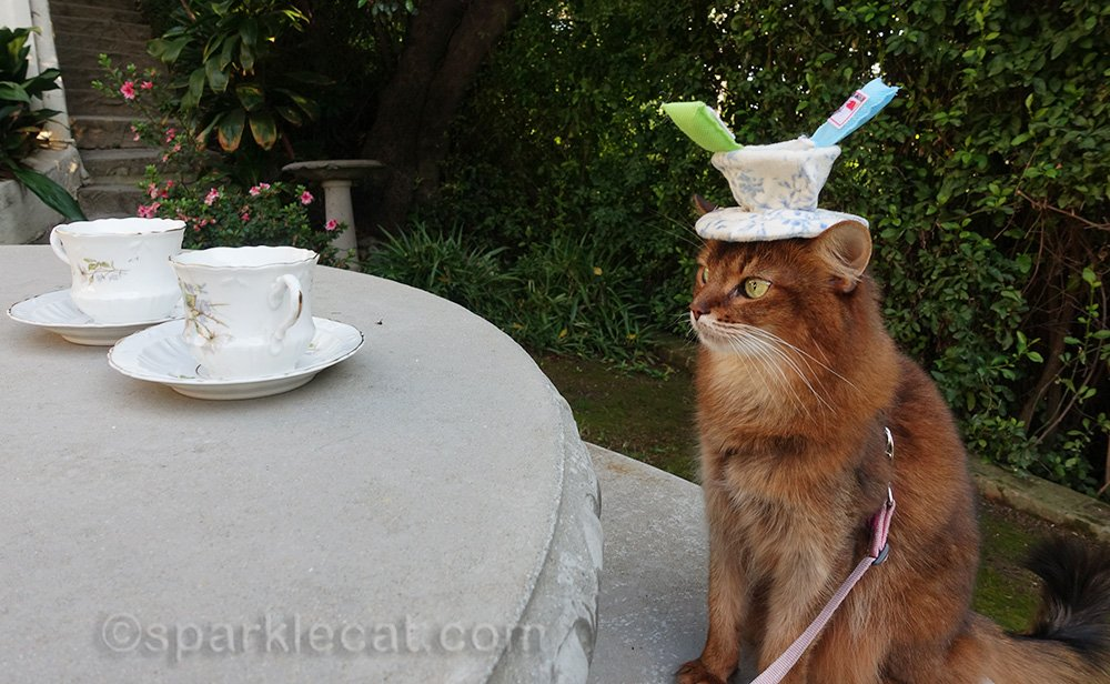somali cat wearing tea cup toy as hat