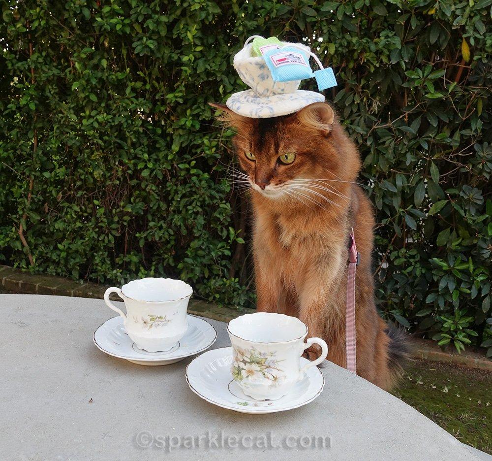 somali cat looking at tea cups