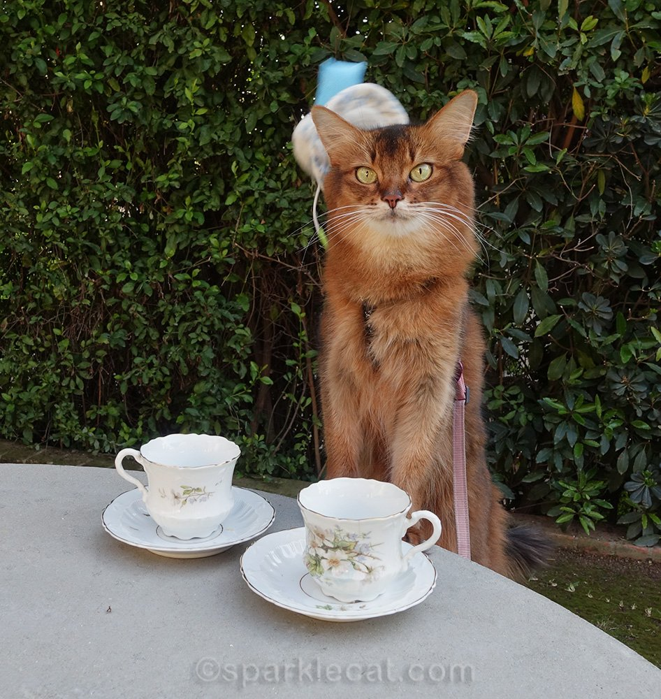 somali cat with tea cup hat falling off head