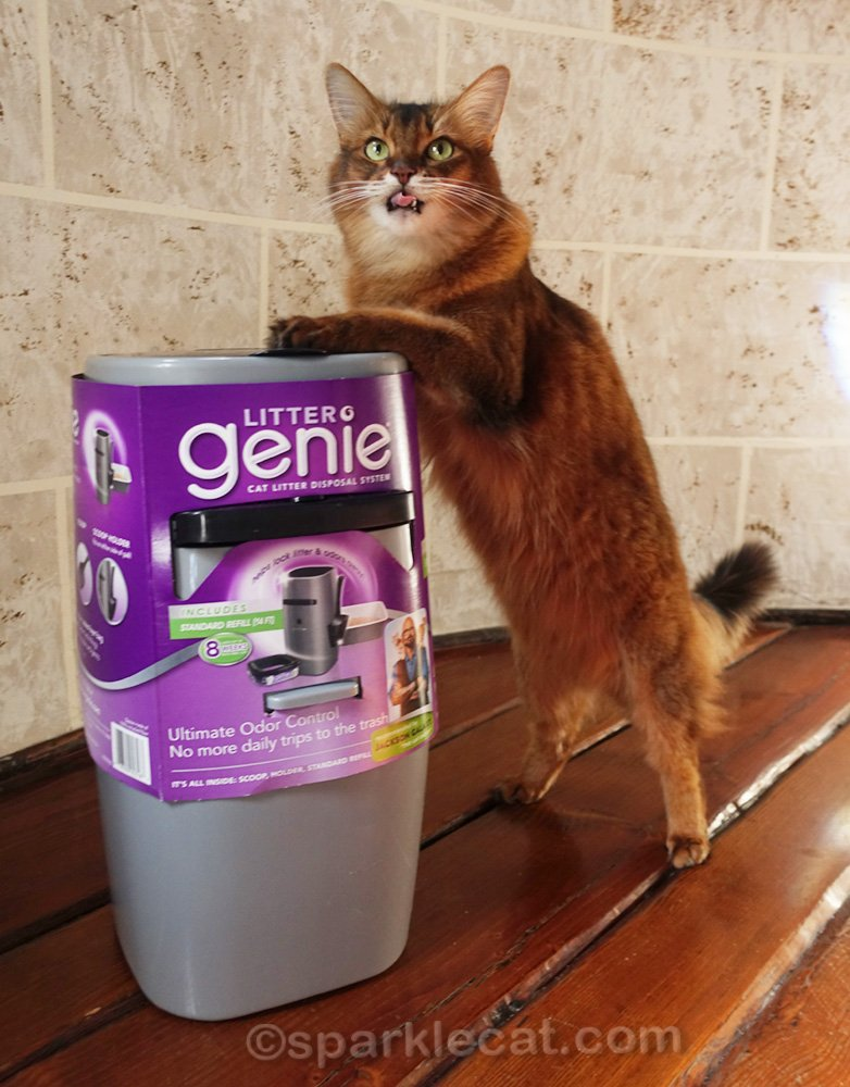 somali cat with paws on Litter Genie, with tongue out