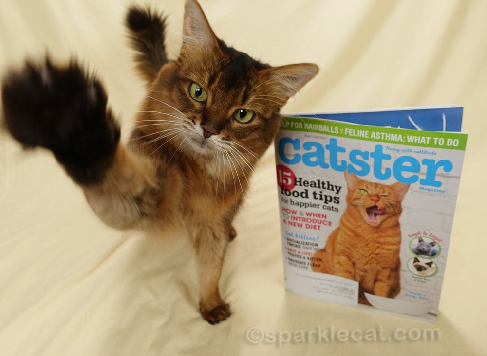 somali cat ready to give a high five, with Catster magazine