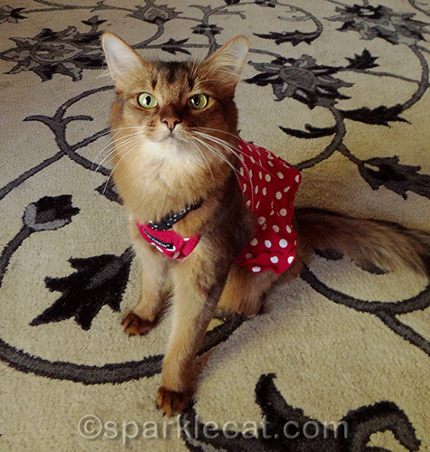 somali cat wearing a red polka dot dress