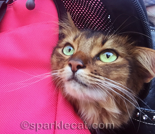 Somali cat in carrier, waiting for the Blessing of the Animals