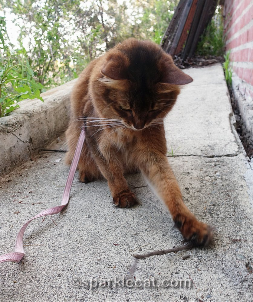 somali cat on leash, playing with a stick