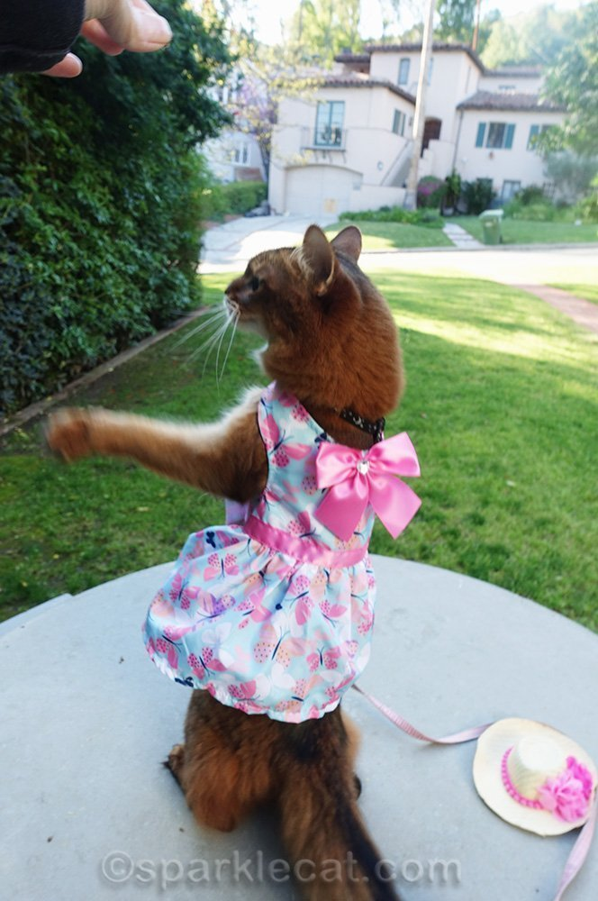 somali cat in awkward pose while wearing dress
