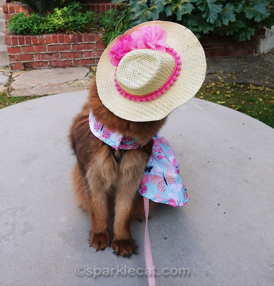 somali cat wearing dress and hat, looking away from camera