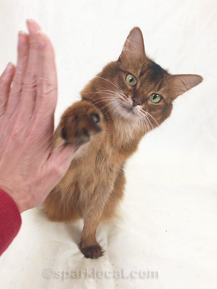 somali cat giving a sloppy high five