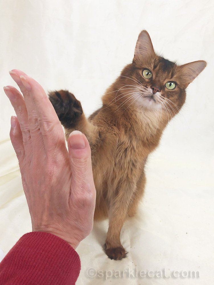 somali cat giving a high five