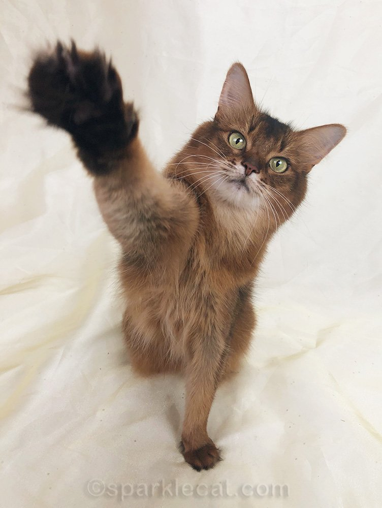 somali cat with high five paw