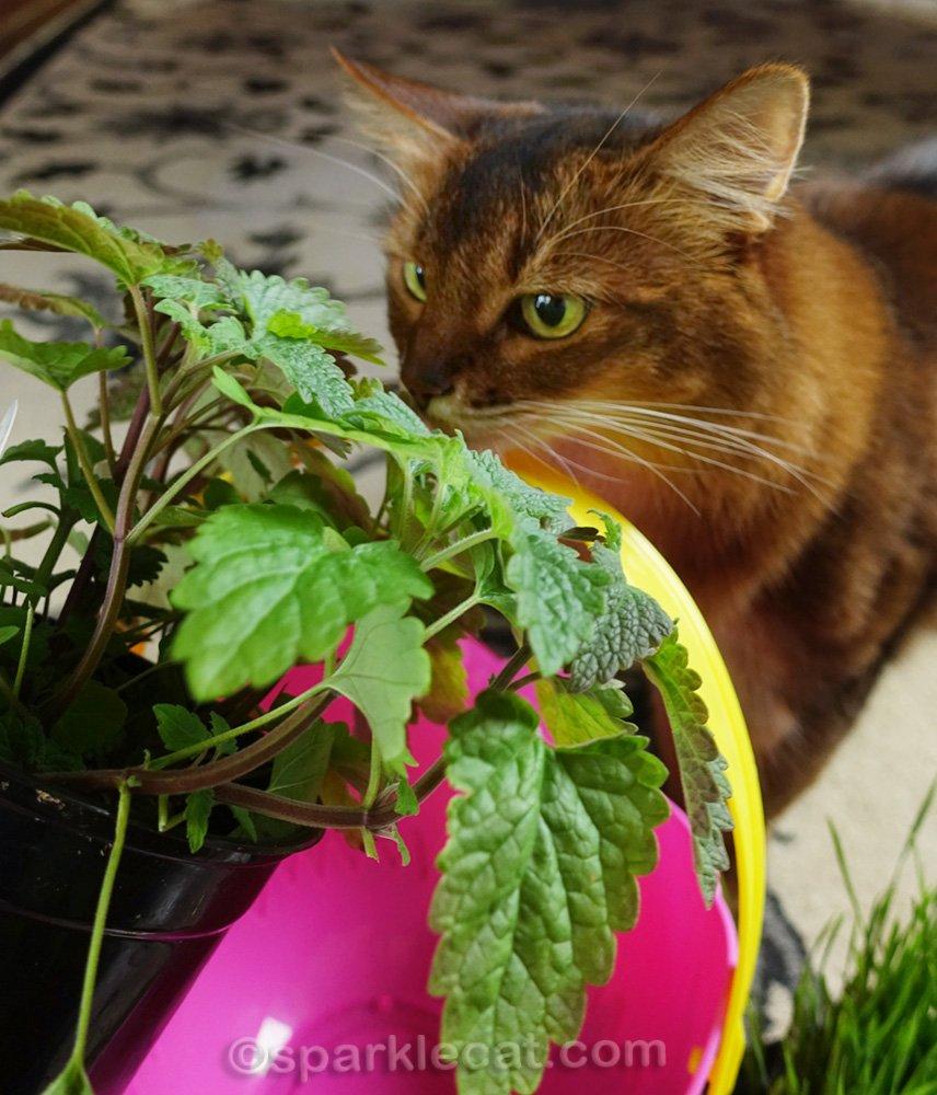 Somali cat sniffing catnip plant