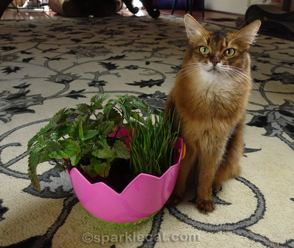 somali cat with catnip plant and cat grass in an Easter basket
