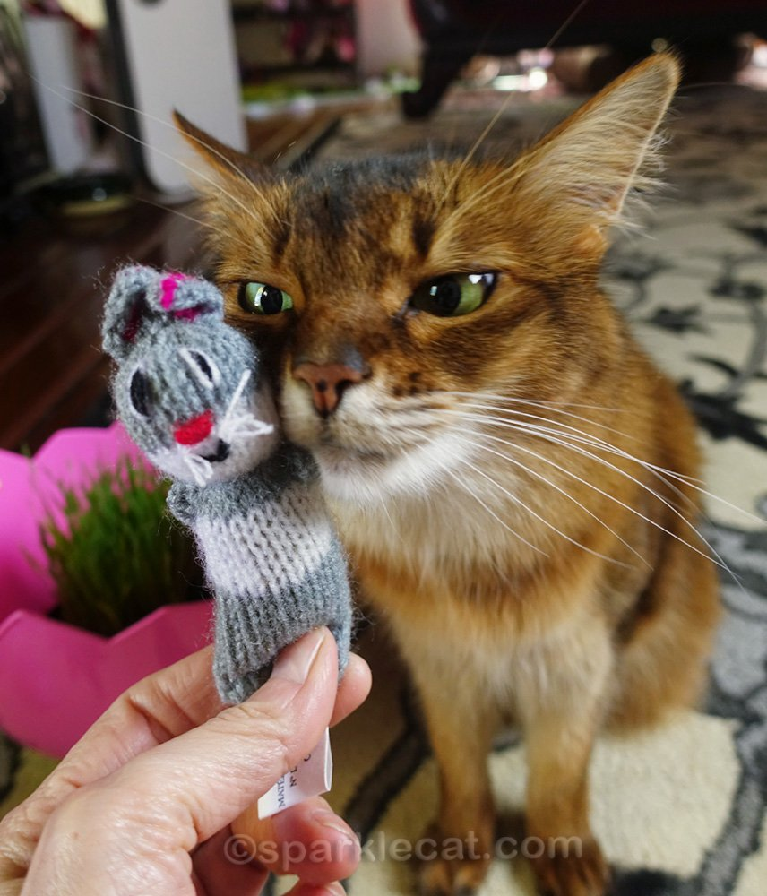 somali cat loves barnyarn buddy
