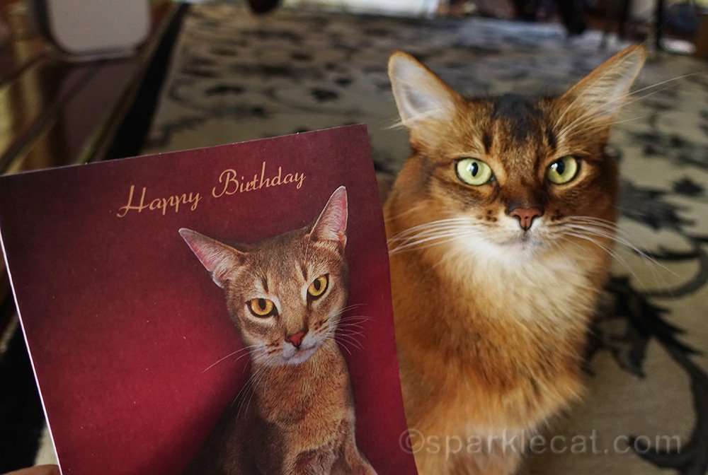 somali cat posing with birthday card with Abyssinian cat on it