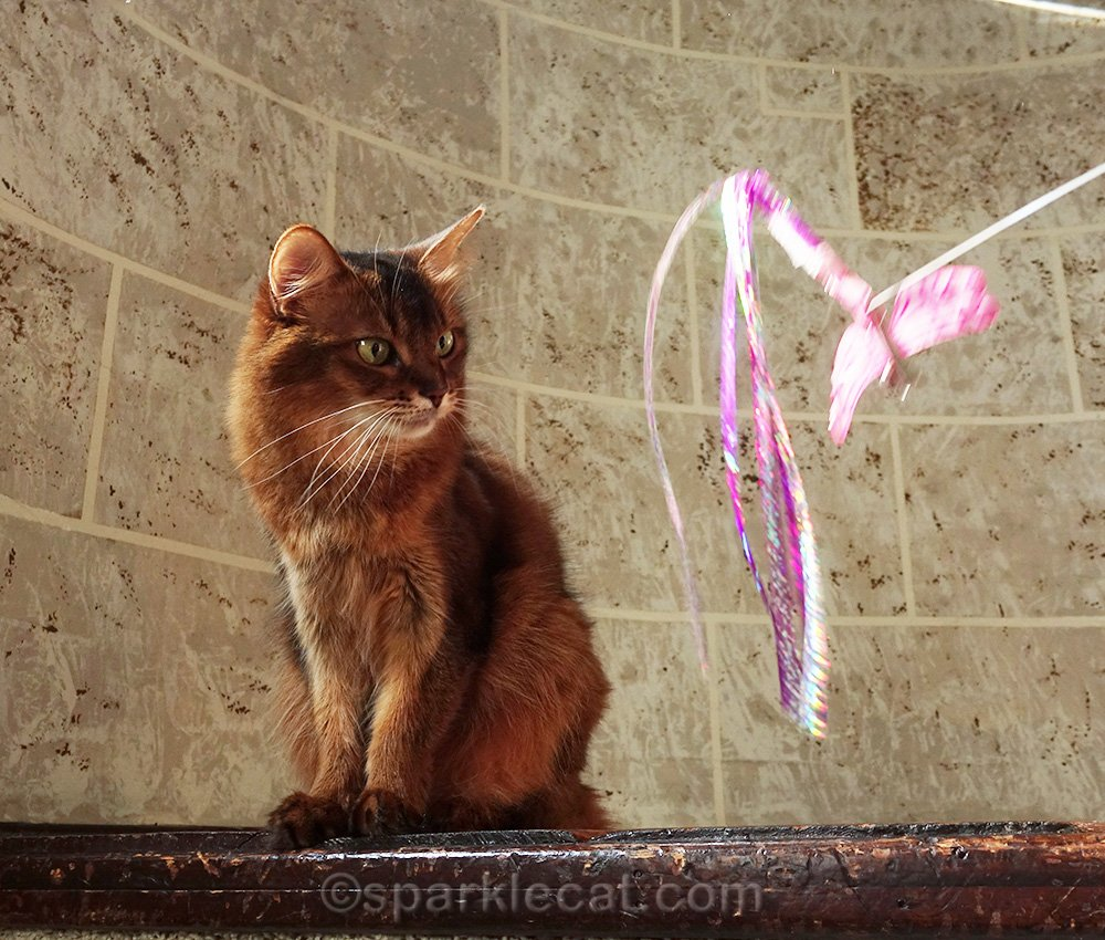 somali cat staring at cat toy