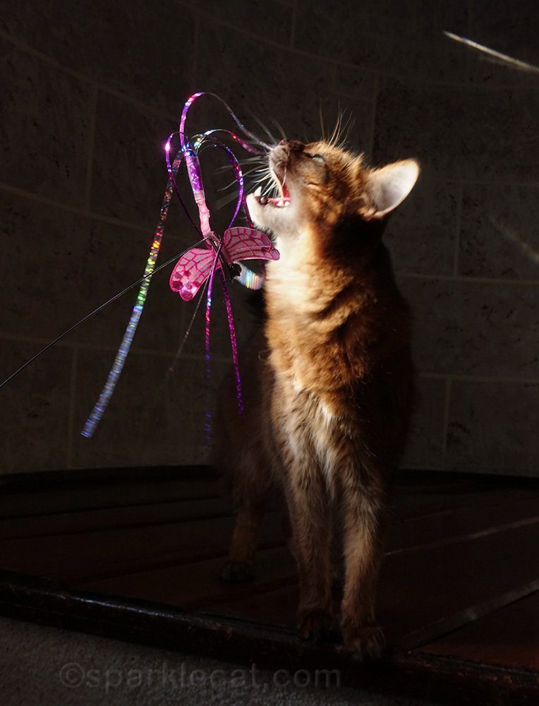 shadowy somali cat playing with toy