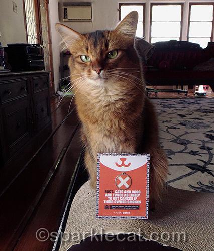 somali cat posing again with anti-smoking PetCo card