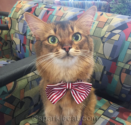 somali cat on a quiet therapy cat visit day