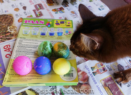 somali cat checking out glitter eggs
