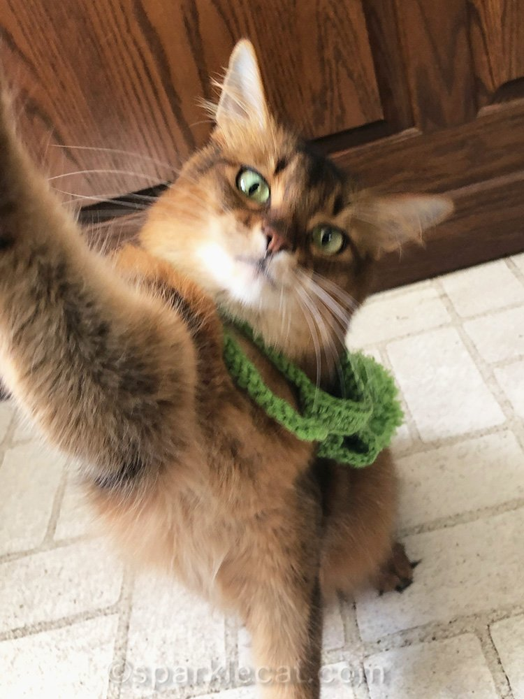 somali cat reaching for iPhone, while knit cap falls off her head