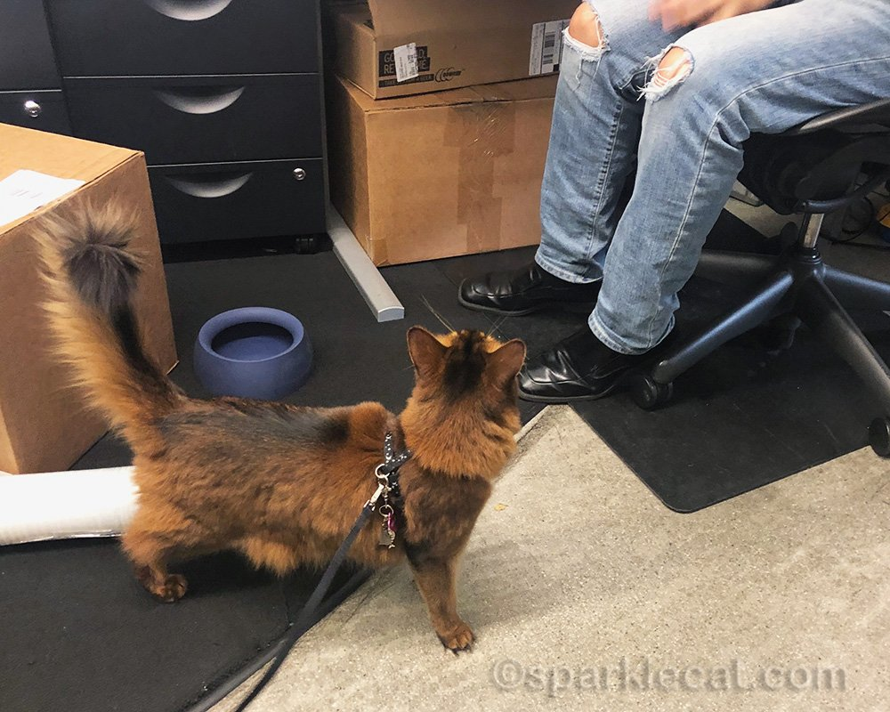 somali cat supervising Sleepypod employee
