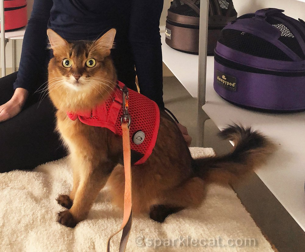 somali cat ready for video shoot for Sleepypod