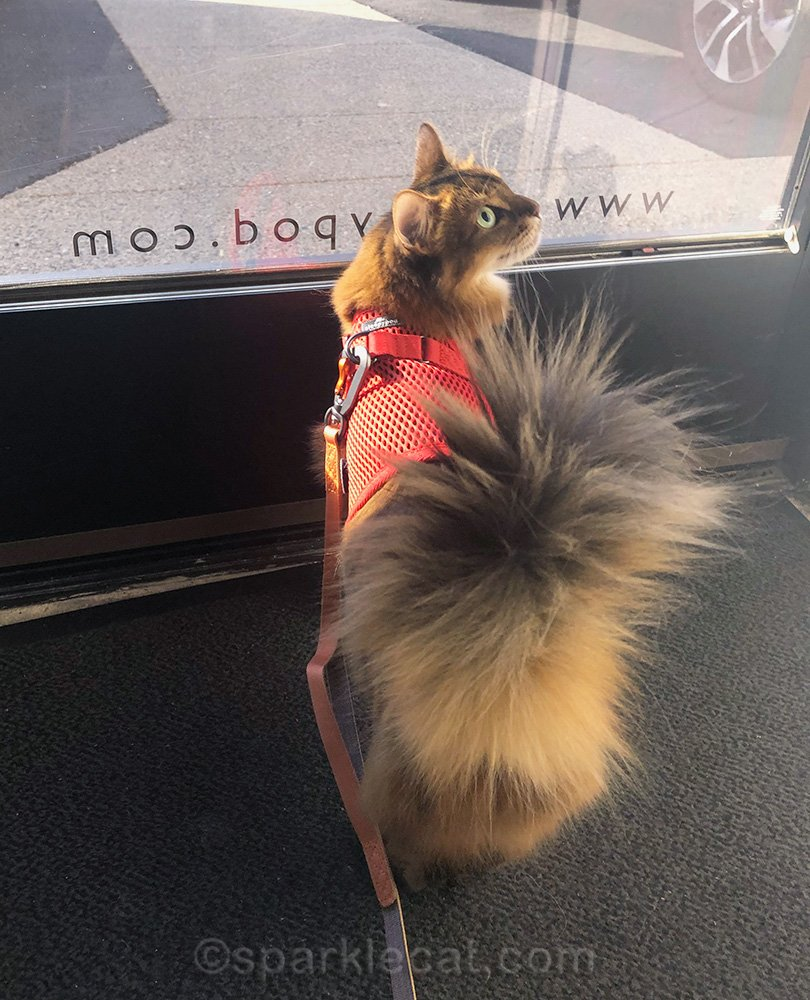 somali cat ready to go out for a walk