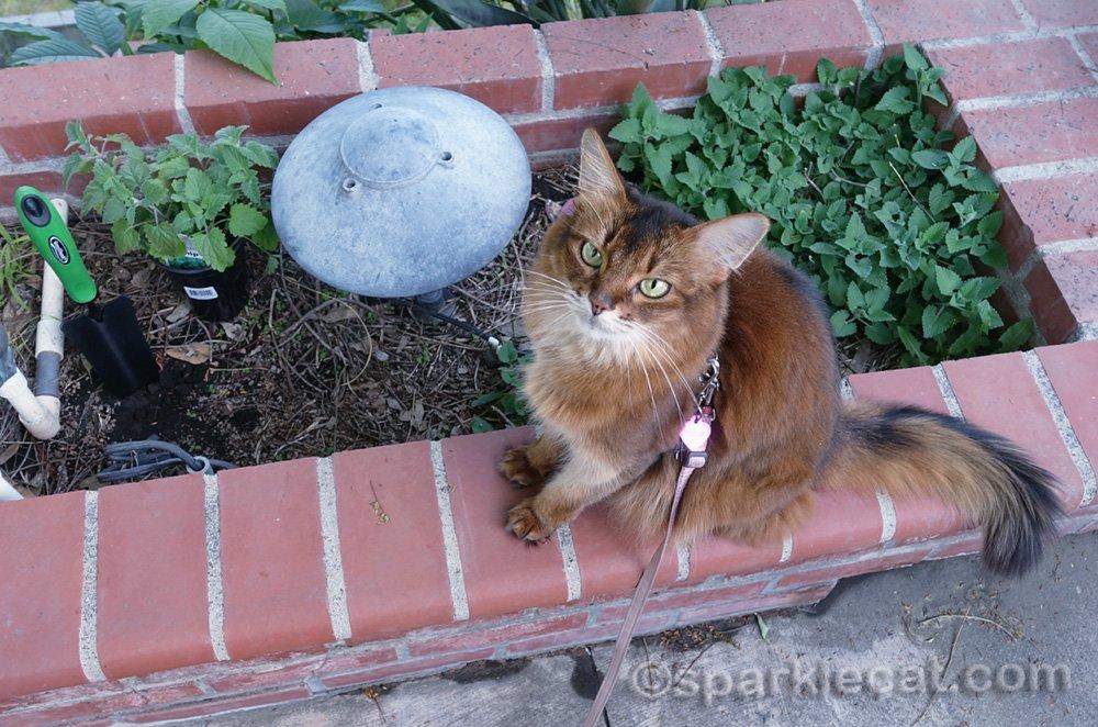 Somali cat sitting on bricks by catnip garden