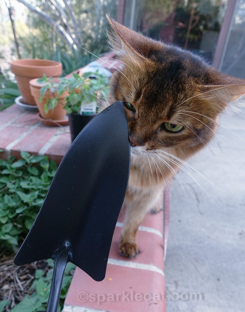 somali cat sniffing new trowel