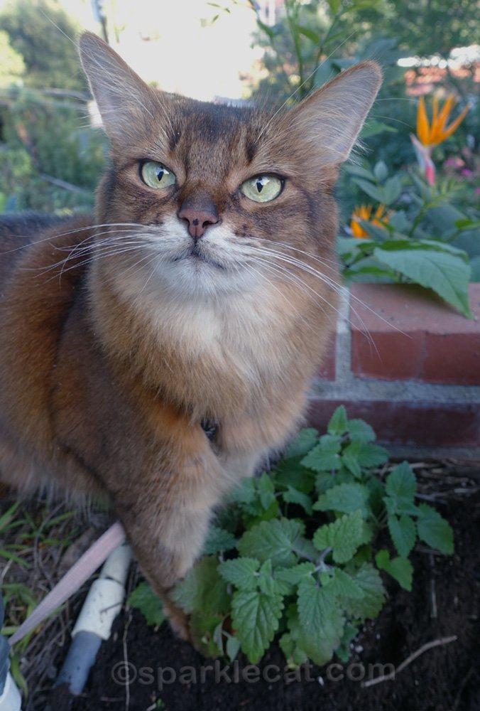 Somali cat happy with new catnip plant