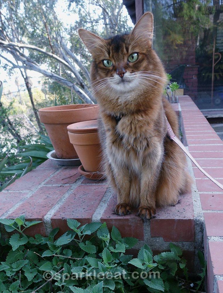 somali cat with established catnip plants