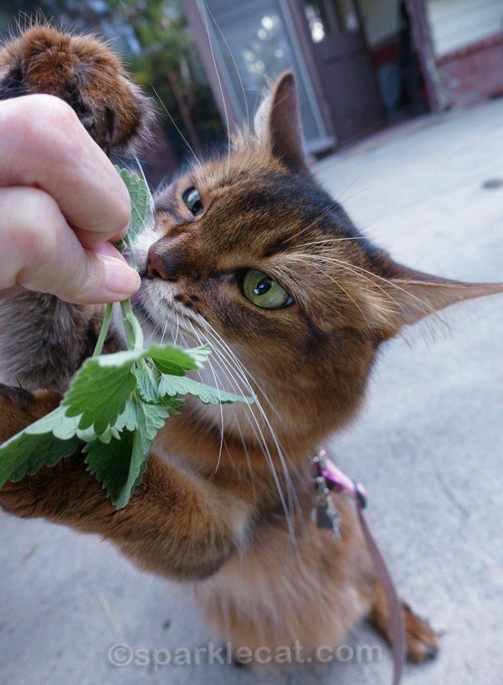 somali cat going crazy over catnip sprig