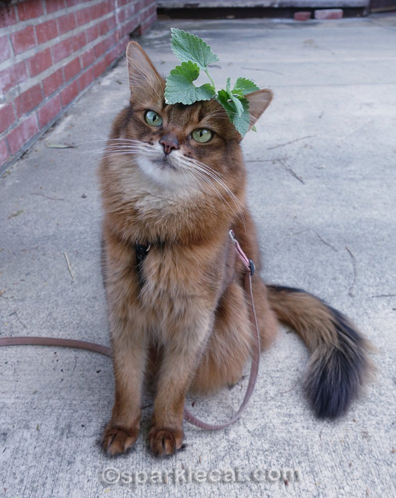 somali cat with sprig of catnip on her head