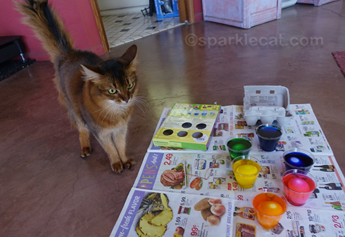 somali cat unhappy with Easter egg dyeing
