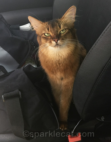 somali cat not amused by april fool