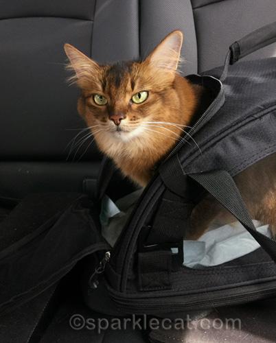 somali cat in carrier in back of car