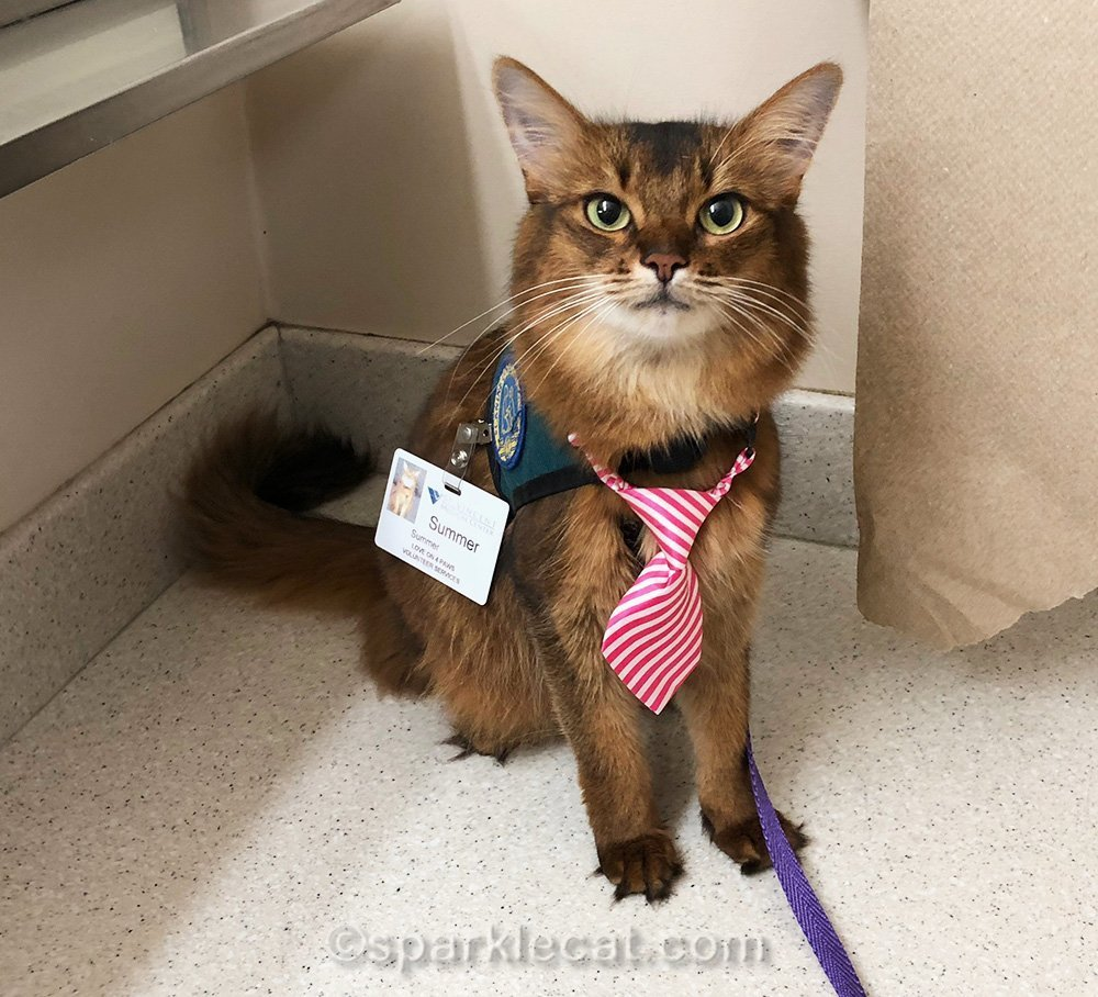 therapy cat ready to go to work