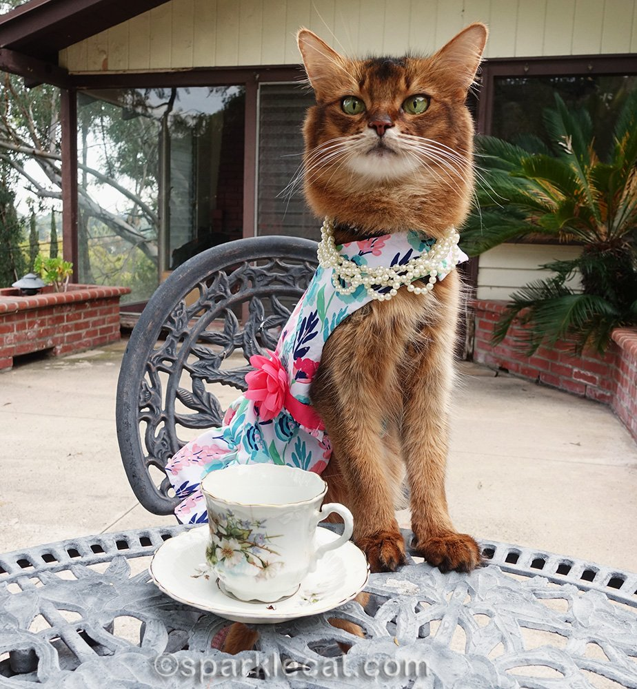 somali cat in dress for tea party