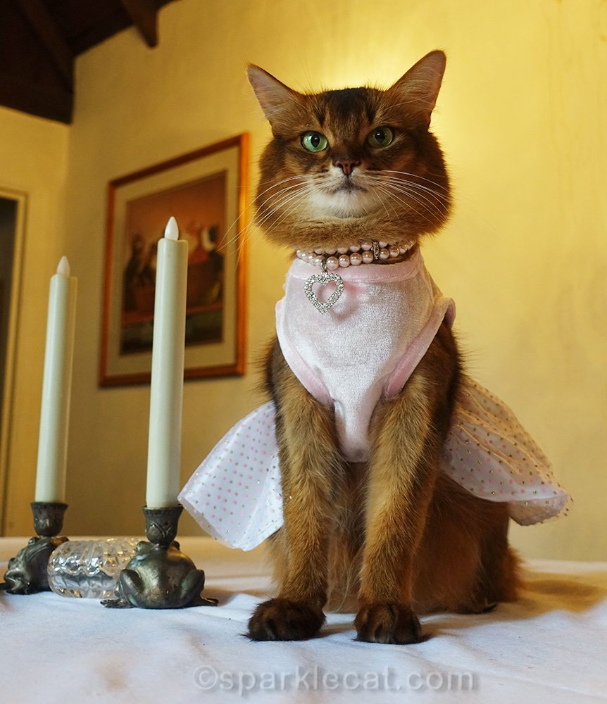 somali cat in elegant dress, sitting on dining table