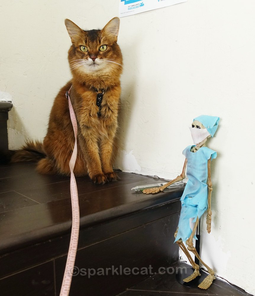 somali cat with Dr. Bones and a vaccination needle