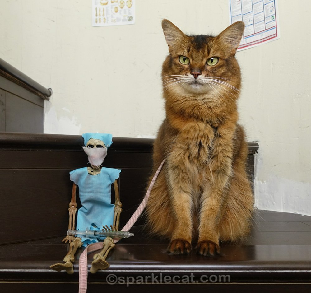 somali cat sitting on a step with Dr. Bones