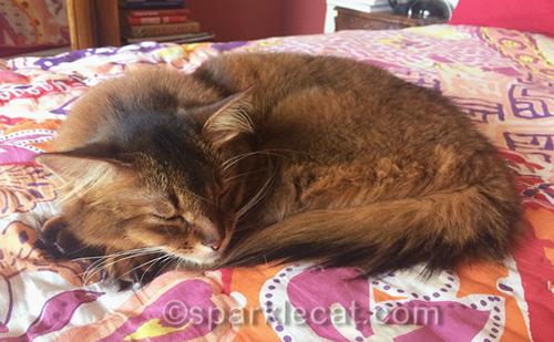 sleeping somali cat on bed