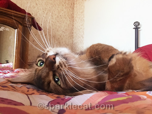 somali cat doing an upside down selfie on bed