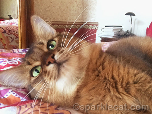 somali cat on bed smiles for selfie