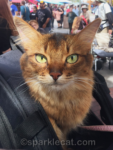 somali cat in El Pueblo de Los Angeles