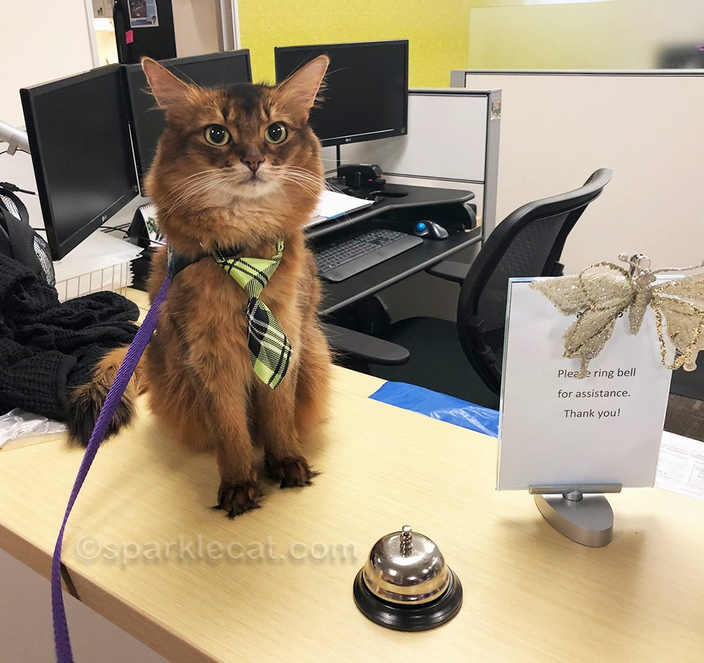 therapy cat at front desk of accounting office