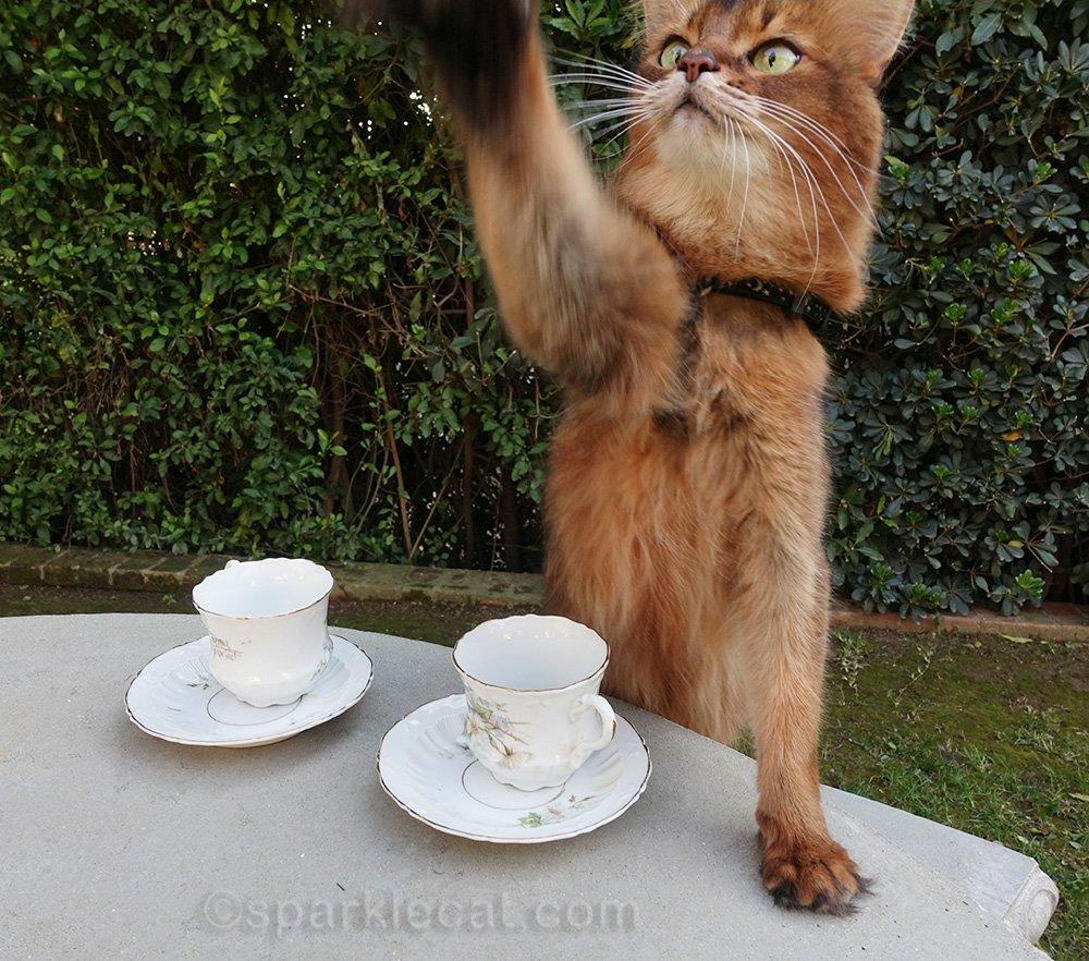 somali cat waving for service