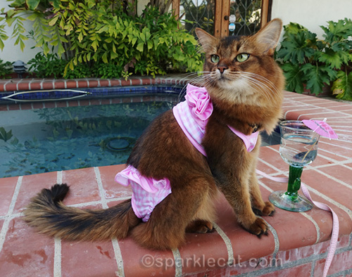 it's swimsuit season, even for somali cats