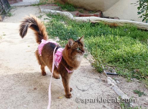 somali cat in pink bikini looking around backyard